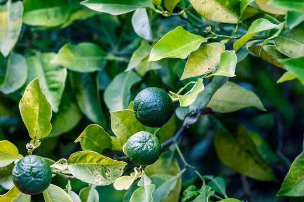 Small still green oranges on a plant in a botanical garden