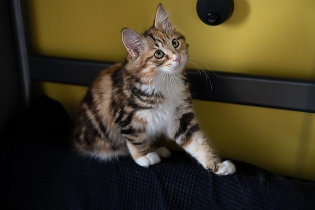 Маленький прямой котенок курильского бобтейла сидит на лице.