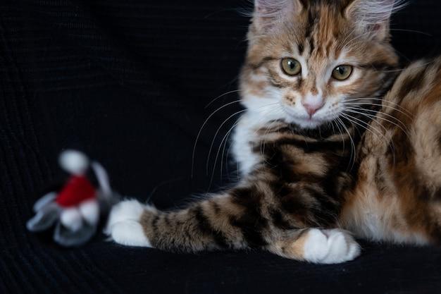 Маленький прямой котенок курильского бобтейла играет с игрушкой кошек