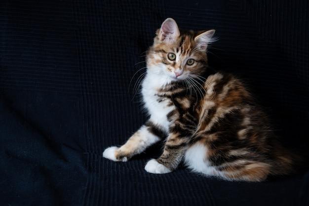 Маленький прямой рыжий курильский бобтейл котенок сидит