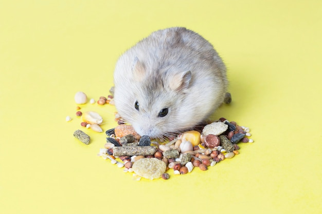A small, striped hamster eats dry food on yellow background