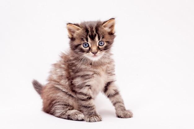 孤立した白地に小さな縞模様の子猫