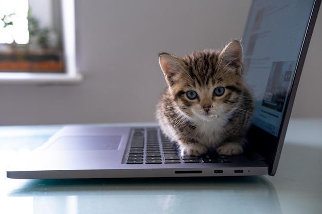 Маленький полосатый котенок сидит на клавиатуре ноутбука и глядя дома вид сверху. copyspace. внештатный, удаленно онлайн работа и образование
