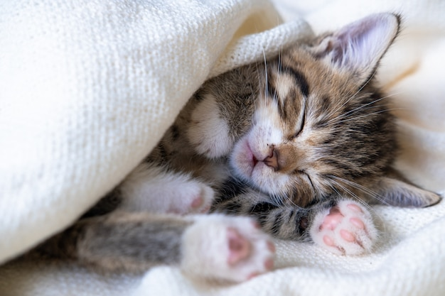 Small striped kitten sleeps covered with white light blanket. concept of adorable pets.