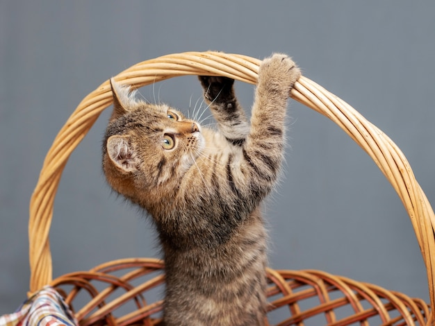 A small striped playful cat in a wicker basket clinging for a basket handle. a kitten is played in a basket