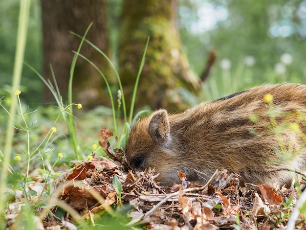Small striped wild boars dig the ground