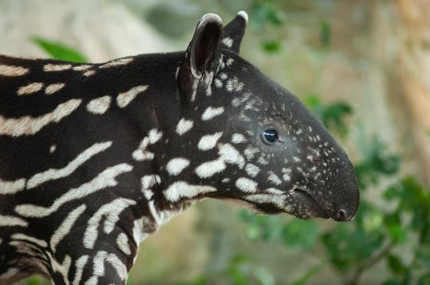 Small stripped baby of the endangered tapir (tapirus indicus)