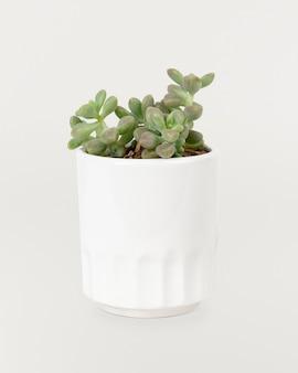 白い鍋に小さな多肉植物