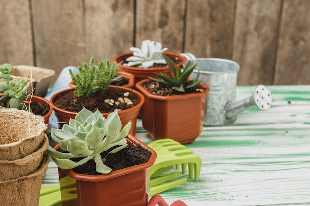Small succulent plants are ready for transplantation close up on wooden background