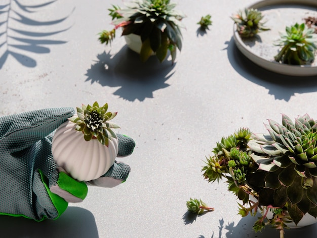 Small succulent plants and gardening gloves