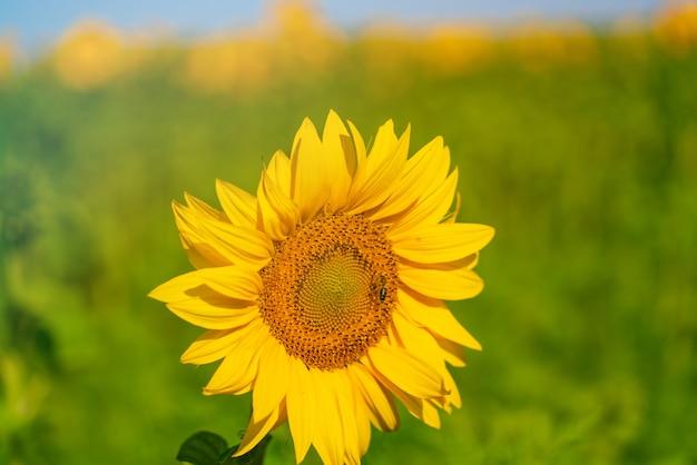 Подсолнечник мелкий с желтым цветком созревает в поле летом.