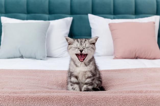 Маленький полосатый котенок шотландской вислоухой породы на кровати