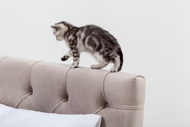 Маленький полосатый котенок шотландской вислоухой породы гуляет по изголовью кровати