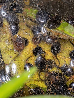 Small tadpoles of cururu toad of the species rhinella diptycha in a lake