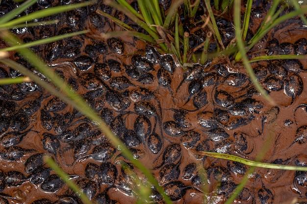 마른 호수의 나머지 진흙에 있는 rhinella diptycha 종의 cururu 두꺼비의 작은 올챙이