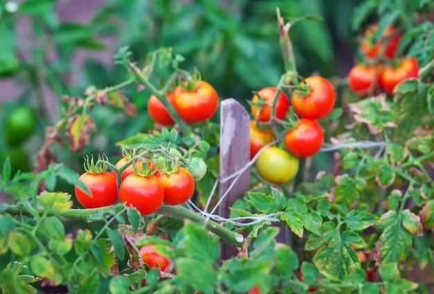 Маленькие вкусные помидоры на ветках, растущих в теплице в саду