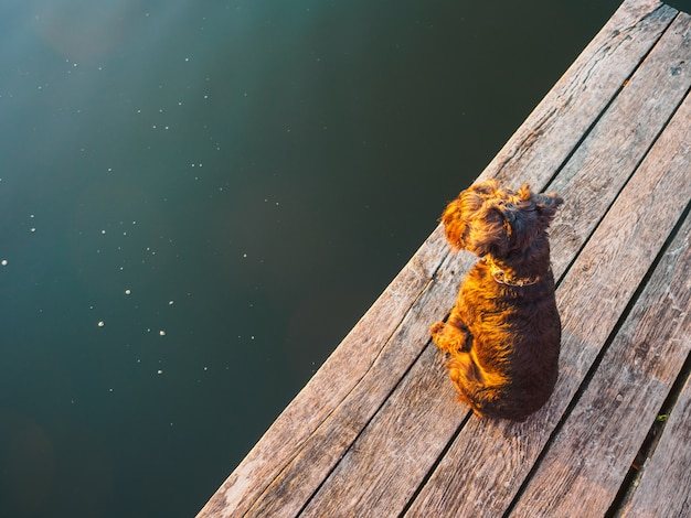 A small terrier on the bridge on the river