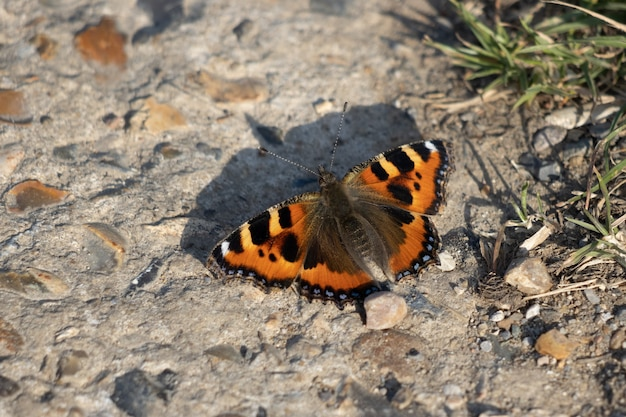 Small tortoiseshell butterfly (aglais urticae l.) resting on a concrete path in the spring sunshine