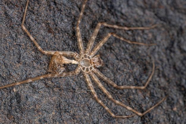 Small trechaleid spider of the family trechaleid exoskeleton