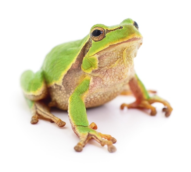 Small tree frog isolated on white