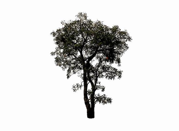 白い背景で隔離の小さな木