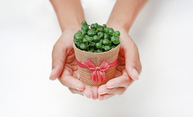 Small tree in a pot wrapped in burlap on woman hands against white background.