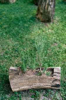 Small trees grow in an old stump on a green lawn