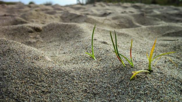 해변의 모래 위에 자라는 작은 풀 뭉치. 자연의 경이의 작은 세부 사항.
