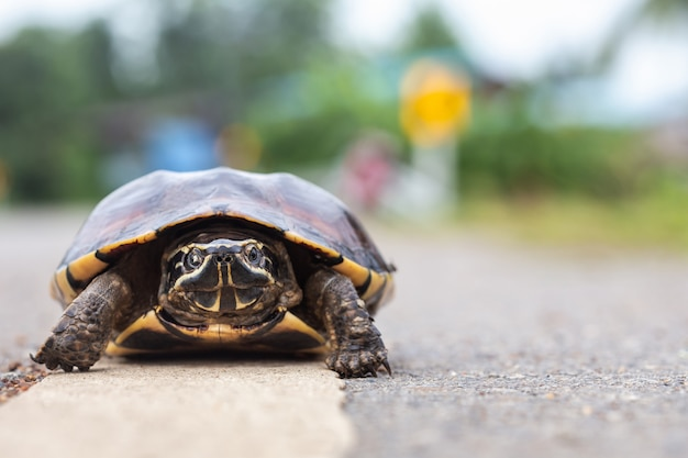 Small turtle walking on the road