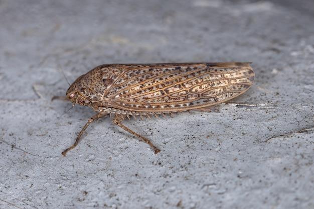 Gyponini 부족의 작은 전형적인 잎벌레