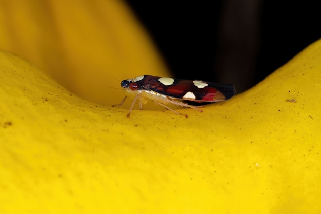 Small typical leafhopper of the species erythrogonia dubia