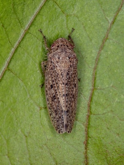 Small typical leafhopper of the tribe gyponini
