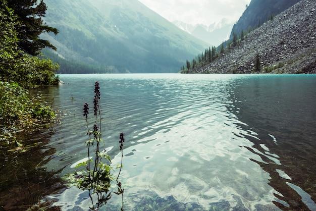 Larkspur의 작은 보라색 꽃은 휴식 파도와 함께 투명한 청록색 호수 물에서 자랍니다.