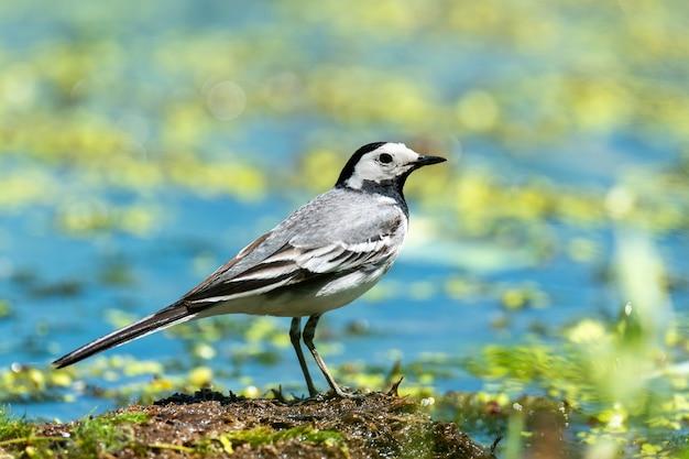 Маленькая белая птица белая трясогузка в воде