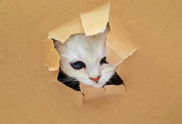 Маленький белый британский котенок смотрит сквозь дырочку в крафт-бумаге. забавный любопытный питомец. скопируйте пространство.