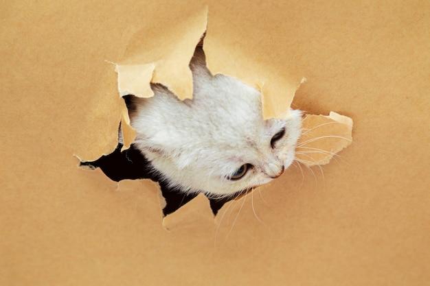 작은 흰색 영국 고양이는 공예 종이에 구멍을 통해 보인다. 재미 있은 호기심 애완 동물. 공간을 복사하십시오.