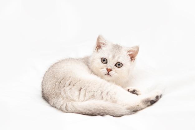 Маленький белый британский котенок на белом одеяле. забавный любопытный питомец. скопируйте пространство.