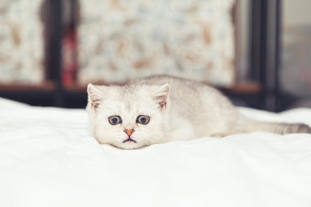 흰색 담요에 작은 흰색 영국 고양이. 재미 있은 호기심 애완 동물. 공간을 복사하십시오.