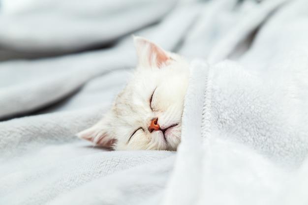 Маленький белый британский котенок спит на сером одеяле забавный питомец копирование пространства