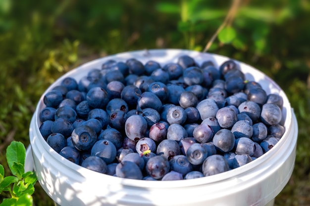 A small white bucket with organic blueberries in the forest, standing on a moss in the sunlight. blurred background and foreground.