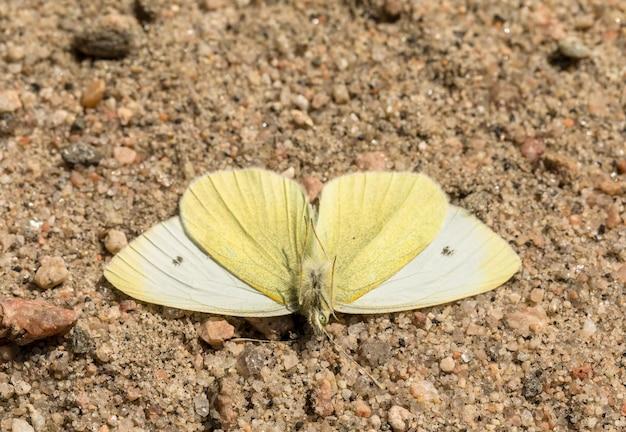작은 흰 나비 - pieris rapae - 수컷 곤충, 아래에서 보기