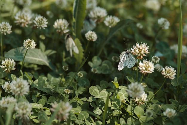夏の庭の白いクローバーの花に小さな白いキャベツ蝶。春の野にオオモンシロチョウ蝶。咲く草原と小さな野生生物の春の風景