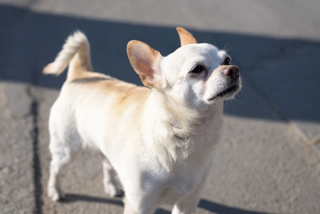 Small white chihuahua dog with brown ears