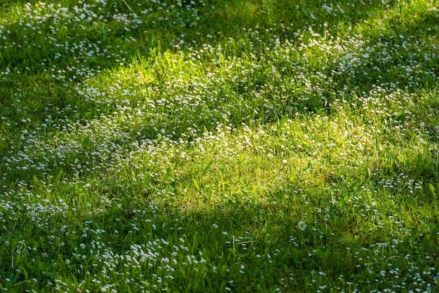Маленькие белые маргаритки на зеленой лужайке в весеннее время. вид сверху. задний план