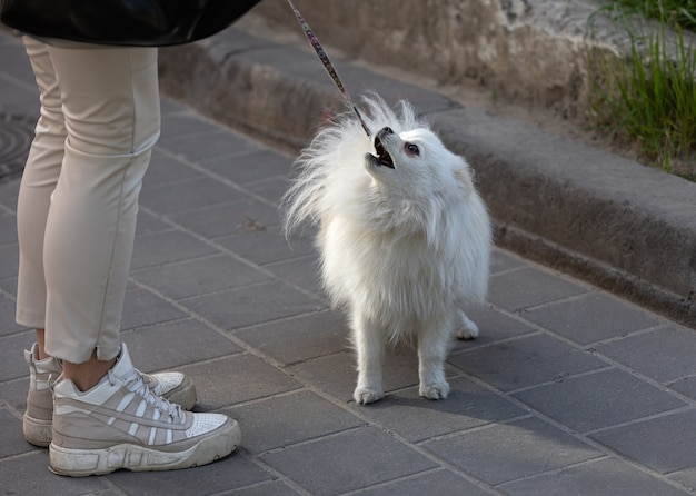Small white dog stands near female legs on a city street