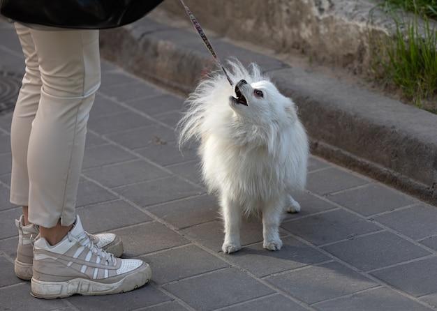小さな白い犬が街の通りの女性の足の近くに立っています