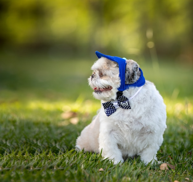 蝶ネクタイと帽子をかぶった小さな白い犬