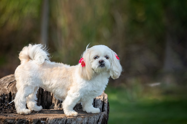 ヘッドドレスを着ている小さな白い犬