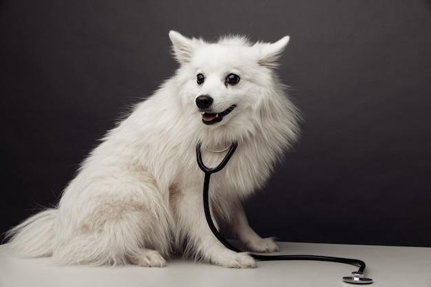 회색 배경에 수의사 클리닉 테이블에 청진 기와 작은 흰색 개.