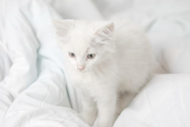 白い毛布とベッドの上の小さな白い国内の子猫。かわいい愛らしいペットの猫